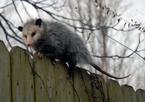 Possum%20on%20a%20fence
