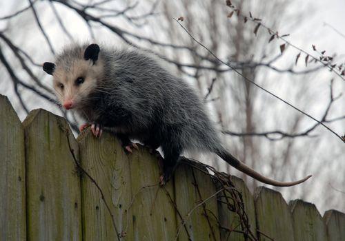 Possum%20on%20a%20fence